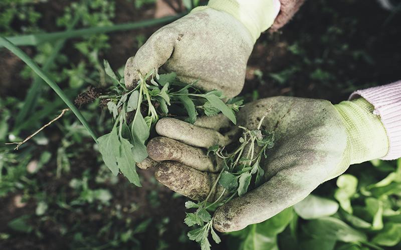 Hænder der luger ukrudt i Knabstrup have