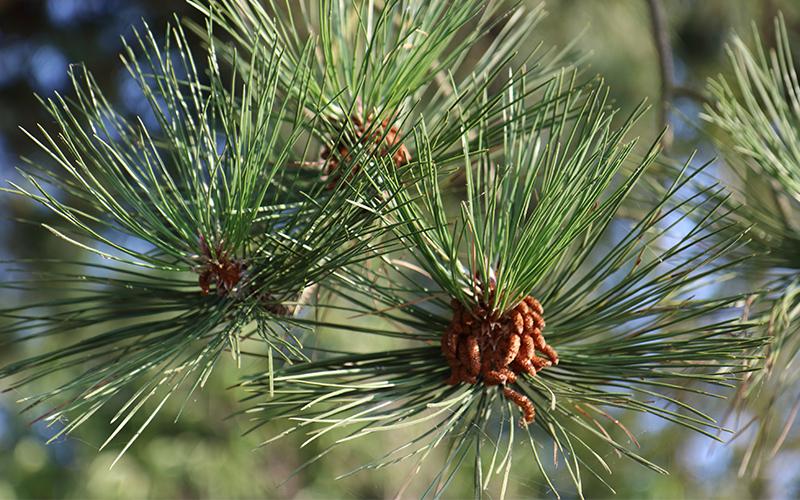 knabstrup.træ.gran.foto.mette.bundgaard